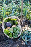 Basket of harvested winter vegetables including Brassicas - Cabbages, Beta vulgaris - Chard and Cucurbita - Squash with Leeks in a frosty garden