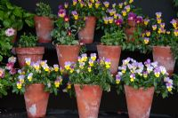 Pots of violas including Viola 'Sweeties', displayed in an auricula theatre - RHS Garden Harlow Carr, Harrogate, North Yorkshire, UK