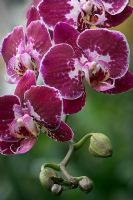 Orchid, phalaenopsis, moth orchid, orchis