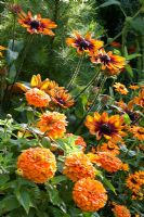 Rudbeckia hirta 'Autumn Colours', Zinnia angustifolia 'Profusion Orange' and Zinnia elegans 'Benarys Riesen Orange'
