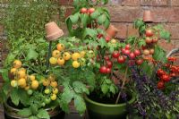 Dwarf bush Tomato 'Sweet 'n' Neat Cherry' and 'Sweet 'n' Neat Yellow' growing in ceramic pots with clay pots as cane toppers to prevent eye injury alongside Ocimum 'African Blue' - Basil and Tagetes - French Marigolds