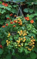 Hessian lined hanging basket planted with Tomato 'Balconi Yellow' and whitefly deterring Tagetes - French Marigolds, hung on a fence where Runner beans and Nasturtiums are growing