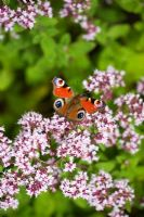 Inachis io - Peacock Butterfly resting on Origanum vulgare - Oregano flower