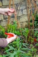 Woman cutting back dead stems of herbaceous perennial in spring. Chamerion angustifolium 'Album' syn. Epilobium Angustifolium 'Album' - Barnabas Road, Cambridge.