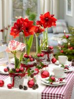 Hippeastrum 'Royal Red' and 'Flaming Striped' as Christmas centrepiece displays