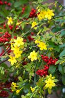 Jasminum nudiflorum with Pyracantha berries