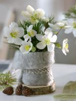 Helleborus niger - Christmas Rose with Pinus - Pine cones in felt wrapped pot