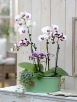 Phalaenopsis and Pilea Orchids on windowsill