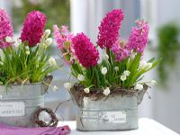 Hyacinthus 'Jan Bos' 'Pink Pearl', Muscari 'White Magic' in metal jardinieres with Birch twigs