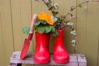 Polyanthus and Hedera - Ivy planted in childrens red wellies