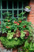 Haybasket lined with mind your own business, Soleirolia and edged with variegated land cress, lettuce 'Lollo Rossa' and tomatoes 'Vilma'