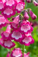 Penstemon 'George Home'