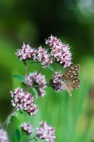 Origanum laevigatum 'Herrenhausen' with Speckled Wood butterfly - Pararge aegeria