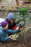 Picking Brussels Sprouts from raised bed at Christmas