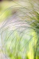 Carex comans 'Frosted Curls' in July