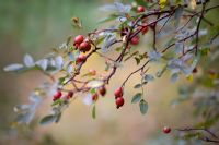 Hips of Rosa glauca in Autumn