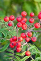 Sorbus aucuparia 'Chinese Lace'