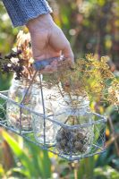 Woman holding wire basket of jam jars with collected seed heads - Lunaria annua, Dictamnus albus, Anethum graveolens and Nigella damascena
