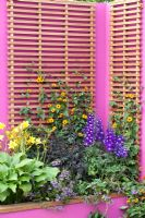 Hampton Court Flower Show. garden for Astellas Pharma designed by Jill M W Foxley, Bright pink walls and fencing