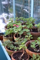 Over-wintering Pelargoniums - Geraniums in greenhouse, January