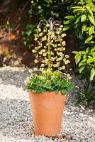 Planting spring container with Salix caprea, Primula veris and Primula 'Gold Lace'
