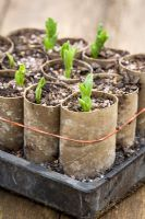 Broad Bean seedlings in recycled loo rolls