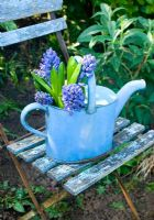 Blue hyacinths in enamel watering can