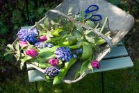 Cutting garden spring flowers - blue hyacinths and purple tulips in galvanised trug