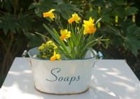 Narcissus 'Jetfire' and Primula veris in vintage enamel container