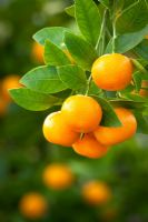 Citrus calamondin syn. Citrofortunella microcarpa grown indoors