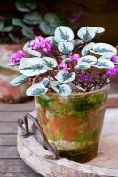 Cyclamen coum in a terracotta pot