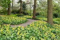 Spring woodland garden with mass planting of Erythronium Pagoda at RHS Wisley.