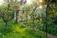 A tunnel of espaliered apple trees in blossom