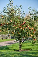 Malus domestica 'Kidds Orange Red' - Apple tree in an orchard in Autumn