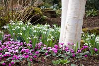 Cyclamen coum and Galanthus nivalis growing at the base of Betula utilis var. jacquemontii - Silver Birch tree