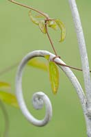 Clematis 'Duchess of Albany' tendril wound round metal arch