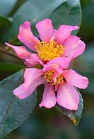 Camellia sasanqua 'Hugh Evans' in December