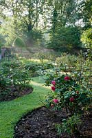 View of rose garden containing mainly hybrid teas with Rosa  'Kathleen Ferriera' in foreground