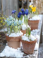 Iris reticulata 'Harmony', 'Katharine Hodgkin' Dwarf Iris in clay pots in the snow