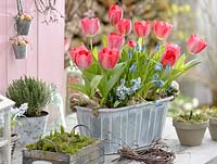 Tulipa 'Red Paradise' in metal trough, Muscari, Scilla, Thymus and Hyacinthus