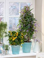 Potted plants - Citrofortunella microcarpa - Calamondine, Hardenbergia - coral pea and Rosmarinus - Rosemary