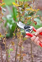 Correct pruning of a rose using secateurs