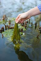Remove blanketweed from pond as soon as it starts to appear in Spring