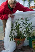 Insulating tender plants in the greenhouse with fleece over the winter period