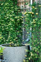 A granite watering station with gutter pipe next to wooden wall with climbing Lonicera periclymenum 'Thomas Graham' - Hollberg Gardens