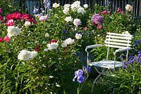 White painted garden chair in a border with Iris, Aquilegia, Myosotis and Paeonia