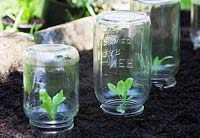 Protecting seedlings with glass jars