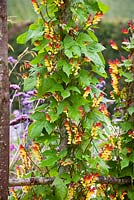 Ipomoea lobata syn. Mina lobata growing on an arch in the cutting garden at Perch Hill
