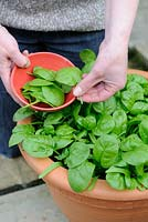 Woman picking baby spinach leaves grown in pot on patio, May