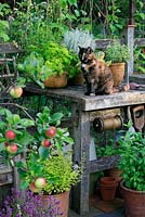 A tortoishell cat sitting on a work bench, made from salvaged oak rails as a look out post, surrounded by herbs in containers - basil, golden marjoram, parsley, cotton lavender and thyme